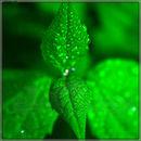 Дабл минт / Double mint (Green mint) - ароматизатор для самозамеса. HC flavour