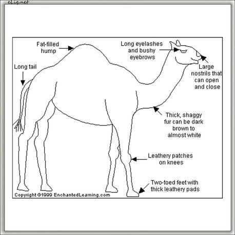 Camel Кемел (eliq.net)